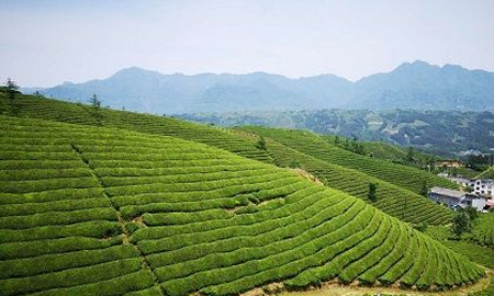 锻造襄阳高香茶品牌 蓝溪茶业出口、内销相得益彰